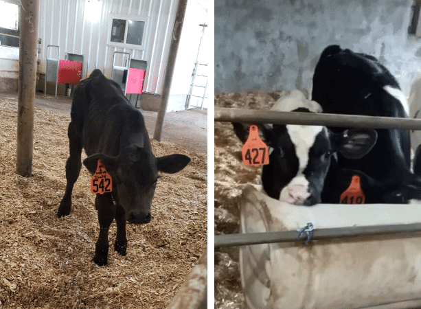 Local Dairy Producers Smart Farm Milking Robots and Broadband